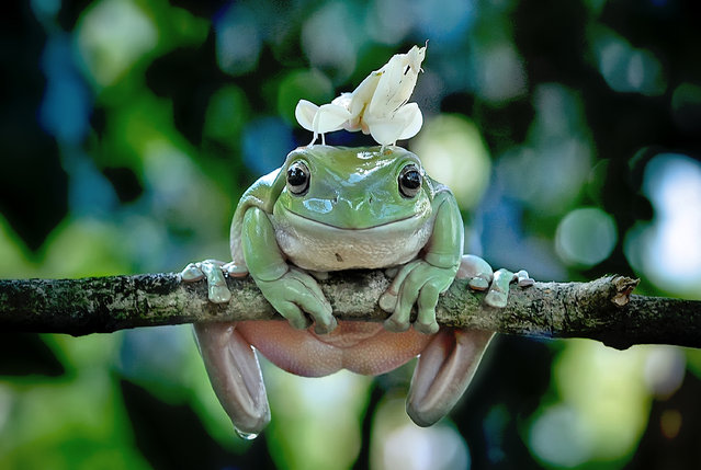 An Orchid Mantis (Hymenopus coronatus) is perched on the head of a frog hanging from a tree branch on March 15, 2017 in Padang, Indonesia. (Photo by Riau Images/Barcroft Images)