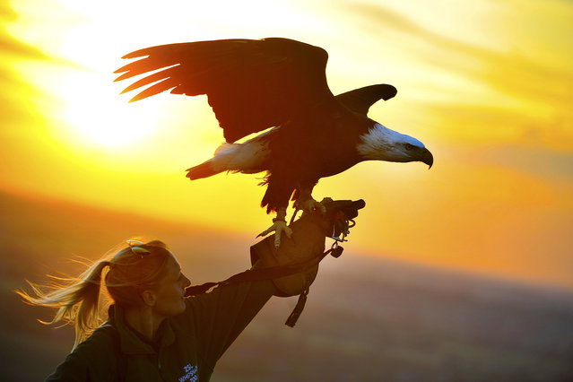 A bald eagle named Apache is having a special twilight training session with her keepers ahead of ZSL Whipsnade Zoo's big Sunset Safari event on Saturday, June 27, 2015. Keepers wanted to ensure that Apache, who usually flies in the Zoo's Birds of the World Live! demonstration during the day time, was ready for her dusk flight at the Zoo's big family event, which takes place after normal Zoo opening hours. (Photo by UPPA/ZUMA Wire)