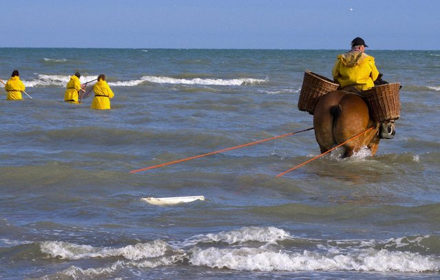 Marius Dugardein, a Belgian shrimp fisherman for the last 15 years, rides a carthorse to haul a net out in the sea to catch shrimps during low tide at the coastal town of Oostduinkerke, Belgium July 3, 2015. (Photo by Yves Herman/Reuters)