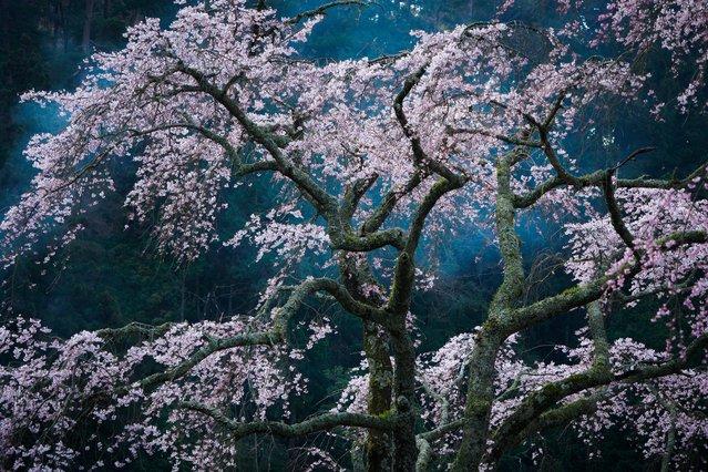 Cherry blossom in Minobu, Yamanashi, Japan. (Photo by Katsuyoshi Nakahara/2016 National Geographic Travel Photographer of the Year Contest)