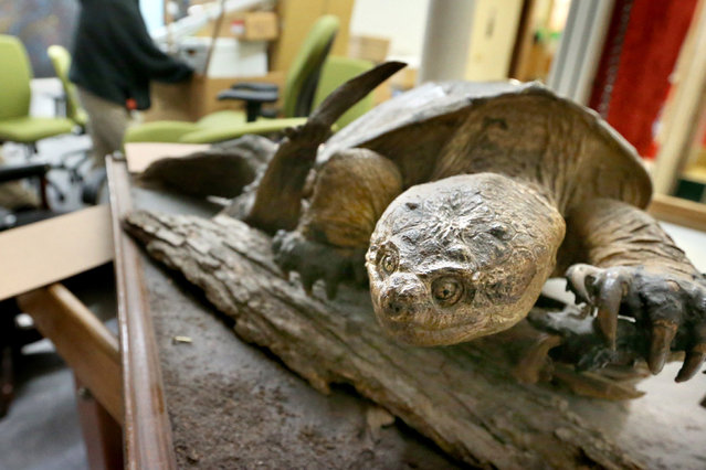 "A snapping turtle on display at the Shenandoah Valley Discovery Museum in Winchester, Va. awaits boxing for a move to its new home during ""Moving Day"" Wednesday, April 23, 2014. The museum will open in its new, larger location in Winchester, Va. on Saturday, May 10, 2014. (Photo by Jeff Taylor/AP Photo/The Winchester Star)"