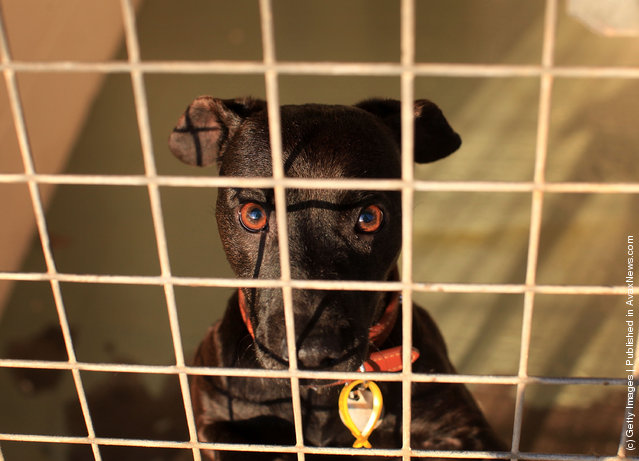 Ellie a six year old Patterdale waits to be re-homed at the Cheshire Dogs Home