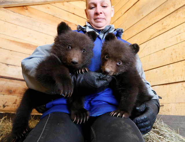 An employee of the Brave Heart private horse club plays with orphaned brown bear cubs who temporarily live there, after their mother has been found killed by poachers in Taiga forest, in a suburb of Krasnoyarsk, Siberia, Russia, April 12, 2017. (Photo by Ilya Naymushin/Reuters)