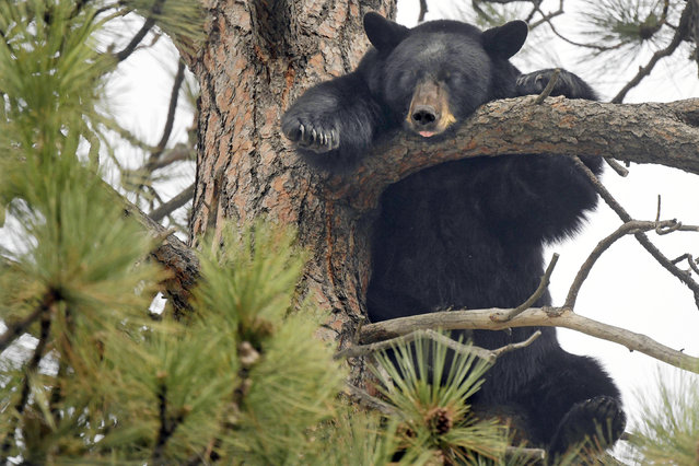 In this Thursday, October 3, 2019 photo, a female black bear sleeps with its tongue out high up in a Ponderosa pine tree near Clark Fork School in the Rattlesnake neighborhood of Missoula, Mont. The bear's cub, not pictured, was snoozing on a nearby branch. (Photo by Tommy Martino/The Missoulian via AP Photo)
