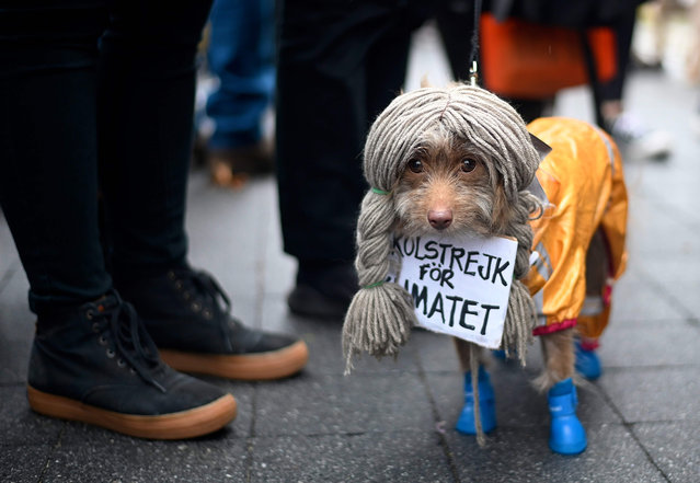 A dog dressed in a costume as Greta Thunberg attends the Tompkins Square Halloween Dog Parade in Manhattan in New York City on October 20, 2019. (Photo by Johannes Eisele/AFP Photo)