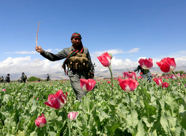 An Afghan policeman destroys poppies during a campaign against narcotics in Jalalabad province, Afghanistan, April 4, 2017. (Photo by Reuters/Parwiz)