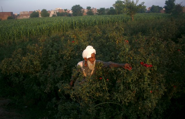 Muhammad Sadique, 103, plucks flowers in the field to be sold in local markets in the outskirts of Faisalabad, July 29, 2015. (Photo by Fayyaz Hussain/Reuters)