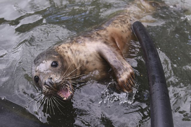 A Common seal named Groot plays with a worker prior to his release at Seal Rescue Ireland wildlife sanctuary where two rescued and rehabilitated seals are released back into the sea after months of care in Wexford, Ireland, June 12, 2016. (Photo by Clodagh Kilcoyne/Reuters)