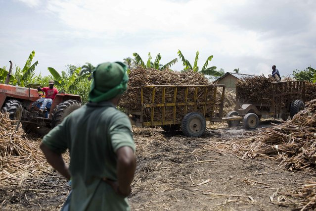 In this June 16, 2017 photo, a worker watches others bring in trucks of freshly cut sugar cane at the Ti Jean distillery, which produces clairin, a sugar-based alcoholic drink in Leogane, Haiti. After the sugar cane juice is fermented and filtered, it is shipped in plastic jugs to be sold in market stalls and by street merchants around the region. (Photo by Dieu Nalio Chery/AP Photo)