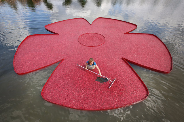 New England cranberry farmer Adrienne Mollor arranges a rose shaped floating display full of cranberries at the Hampton Court Palace Flower Show on July 7, 2014 in London, England. Hampton Court Palace Flower Show opens to the public tomorrow and runs until July 13, 2014. It is the world's largest flower show with over 600 exhibitors spread over 34 acres. (Photo by Peter Macdiarmid/Getty Images)