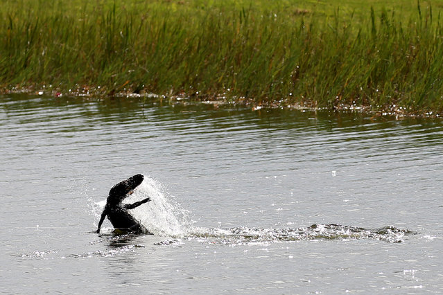 An alligator thrashes in a lagoon in a golf course as it is hooked by a trapper to relocate it to a more natural environment in Orlando, Florida, U.S., June 19, 2016. (Photo by Carlo Allegri/Reuters)