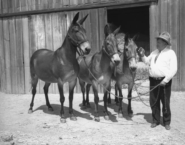 "Walter Scott ""Death Valley Scotty"", who shopped all over the state of California for five weeks and spent $4,500 for 15 mules, is with Barnum, his saddle mule, and two of his pack animals in Los Angeles on July 15, 1936. The other twelve mules are scattered throughout the state and will not be assembled until Scotty leaves for the desert. (Photo by Ira W. Guldner/AP Photo)"