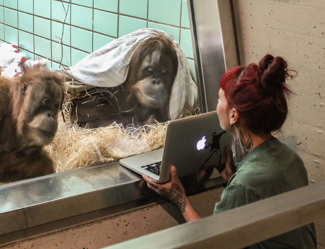 Female orangutans are shown videos of male orangutans to help zookeepers assess whether the intended couples like each other, in Stuttgart, Germany on July 6, 2016. (Photo by Animal Press/Barcroft Images)