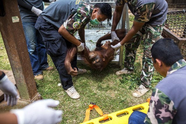 Wildlife officers carry an orangutan after an injection of anesthesia during a health examination at Kao Pratubchang Conservation Centre in Ratchaburi, Thailand, August 27, 2015. (Photo by Athit Perawongmetha/Reuters)