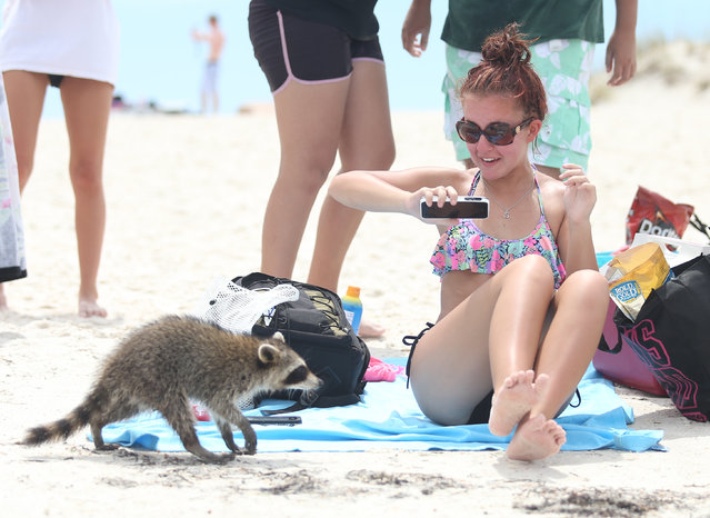 Cami Lanclos reacts to a curious raccoon on Monday, August 18, 2014,  near the jetties at St. Andrews State Park in Panama City Beach, Fla. Raccoons are sometimes found near the beach area of the park because they are looking for food dropped by beachgoers. (Photo by Patti Blake/AP Photo/News Herald)