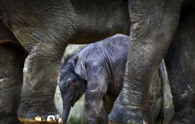 A 2-week old male baby elephant is dwarfed next to his 25-year old mother, Nandong, at the Singapore Zoo's Night Safari on Friday, December 10, 2010 in Singapore. This baby is the first baby to be born in the enclosure after 9 years and had a birth weight of 151-kilograms. (Photo by Wong Maye-E/AP Photo)