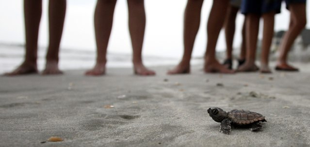 A loggerhead turtle hatchling makes it's way to the surf, as tourists and volunteers look on, at South Litchfield Beach along the coast of South Carolina August 17, 2012. South Carolina United Turtle Enthusiasts (SCUTE), is a group of volunteers dedicated to sea turtle conservation in Georgetown and Horry counties. Turtle volunteers walk the area's beaches along South Carolina's coast daily during the nesting season, looking for signs of turtle activity and keeping tabs on the progress of the endangered species of turtles that lay their eggs along the coast. (Photo by Randall Hill/Reuters)