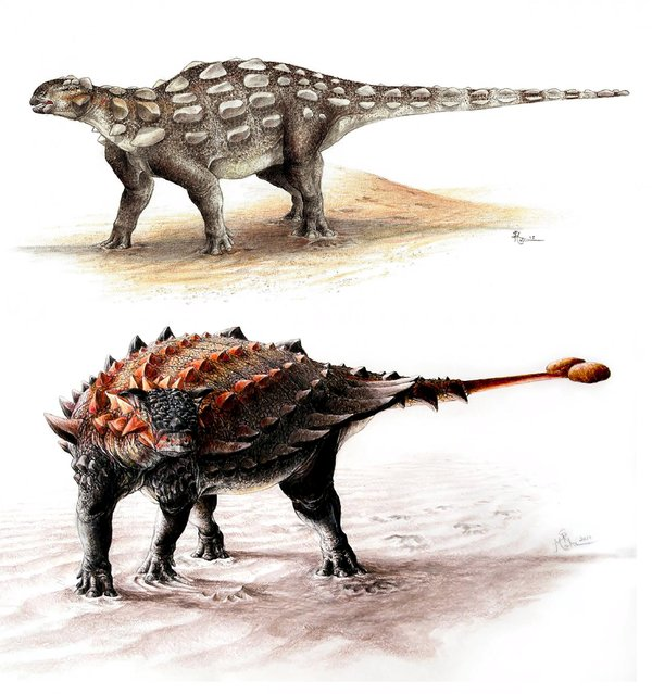 Gobisaurus (top) compared with Ziapelta, an ankylosaur with a fully developed tail club, as seen in an undated illustration courtesy of Victoria Arbour. One of the most impressive weapons to appear during the Cretaceous Period dinosaur arms race was the big bony tail club wielded by some members of a group of tank-like plant-eaters. (Photo by Victoria Arbour/Reuters)