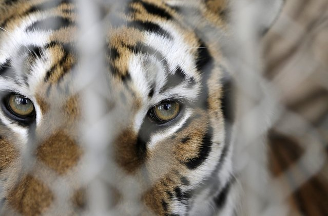A tiger is seen in a cage before a rehearsal at the Fuentes Boys Circus in Mexico City July 31, 2014. Mexico City's government overwhelmingly passed a law on June 2014, which imposed stiff penalties of up to $60,000 on circuses in the capital that use animals such as lions, camels and horses in their performances. Circuses have one year to comply with the ruling. (Photo by Henry Romero/Reuters)