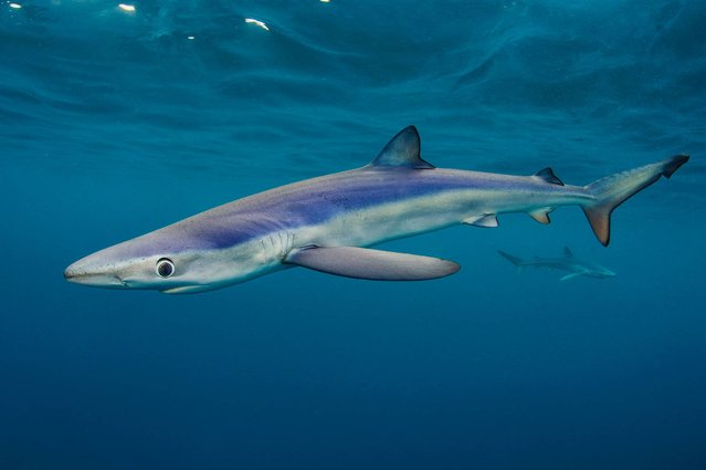 """Big Blues – Shark"". Coast category winner. (Photo by Alexander Mustard/British Wildlife Photography Awards 2014)"
