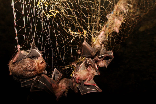 Bats captured in in a cave on July 31, 2009 in Yogyakarta, Indonesia
