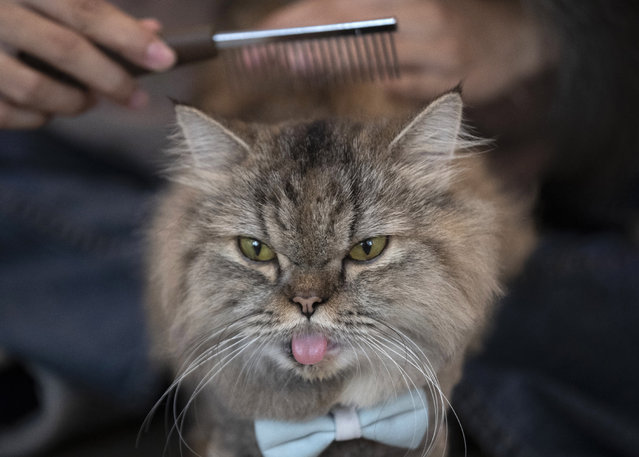 A cat has its hair brushed at the Caturday Cafe in Bangkok, Thailand, Friday, May 8, 2020. Small restaurants are one of the few occupations that were allowed to start again during a gradual easing of restrictions in Thailand's capital Bangkok imposed weeks ago to combat the spread of the coronavirus. (Photo by Sakchai Lalit/AP Photo)