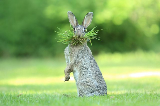 Prepare yourself for some rib-tickling laughter because the Comedy Wildlife Awards has announced its finalists. Founded by Tanzania-based photographers Paul Joynson-Hicks MBE and Tom Sullam, the aim of the awards is to put a spotlight on wildlife conservation efforts while simultaneously injecting some humour into the world of wildlife photography. Here: A wild rabbit seen collecting nesting material in Belgium Flanders, Bredene, Belgium. (Photo by Olivier Colle/Comedy Wildlife Photography Awards/Barcroft Media)