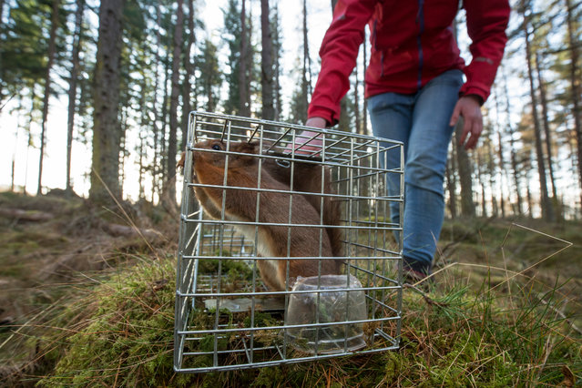 """Documentary series winner, Peter Cairns. Cairns shot a series of images of the translocation of red squirrels to forests in the north-west Scottish Highlands, where they have been absent for decades.""""On moving day the traps are set and checked within hours. Here a squirrel has been captured from a forest where they're abundant"""". (Photo by Peter Cairns/British Wildlife Photography Awards 2017)"""