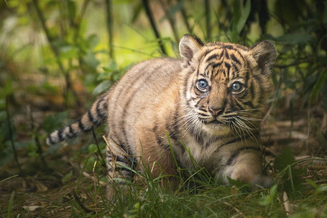 In this undated handout photo provided by the Wroclaw zoo, a little tiger is pictured at the zoo in Wroclaw, Poland on July 23, 2020. (Photo by Wroclaw Zoo via AP Photo)