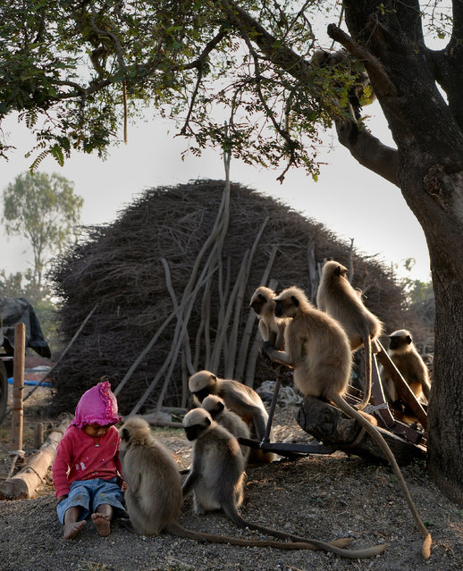 In this photograph taken on December 8, 2017, Indian child Samarth Bangari, 2, sits among langur monkeys in a field near his home in Allapur in India' s southwest Karnataka state. (Photo by Manjunath Kiran/AFP Photo)