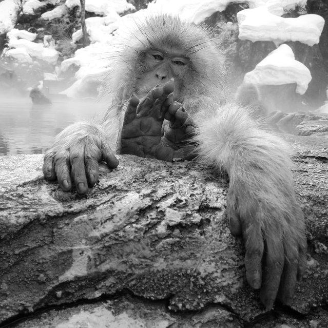 """Relax. Snow monkey at """"Jigokudani hot-spring"""" in Nagano, Japan. (Kiyoshi Ookawa)"""