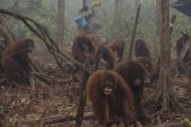 Orangutans walk as haze shrouds Borneo Orangutan Survival Foundation camp in Nyaru Menteng, Indonesia's Central Kalimantan province, October 5, 2015 in this photo taken by Antara Foto. Malaysian Prime Minister Najib Razak has called on Indonesia to take action against people setting fires that have caused choking smoke to drift across the region, with the sky over southern Thailand the latest to be clouded by the pollution. (Photo by Rosa Panggabean/Reuters/Antara Foto)