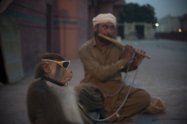 A Pakistani monkey handler Naseer Khan plays flute to attract passers by for a monkey show to earn his living in Islamabad, Pakistan, Monday, September 7, 2015. (Photo by B. K. Bangash/AP Photo)