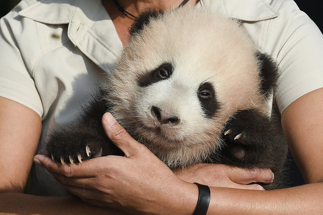 A close up on baby panda Tian Bao (3 months old) at a press conference at the Pairi Daiza animal park in Brugelette, Belgium on September 15, 2016. Giant panda Hao Hao gave birth on June 2016. Both giant pandas Hao Hao and and Xing Hui arrived from China in February 2014. (Photo by John Thys/Belga via ZUMA Press)
