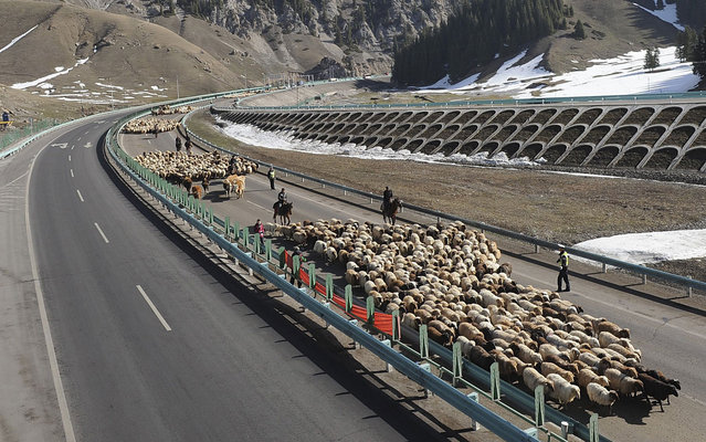 Shepherds lead their flocks of sheep and cattle along on the Guozigou segment of the Lianyungang-Horgos expressway, China, on March 24, 2013. (Photo by Reuters/China Daily)