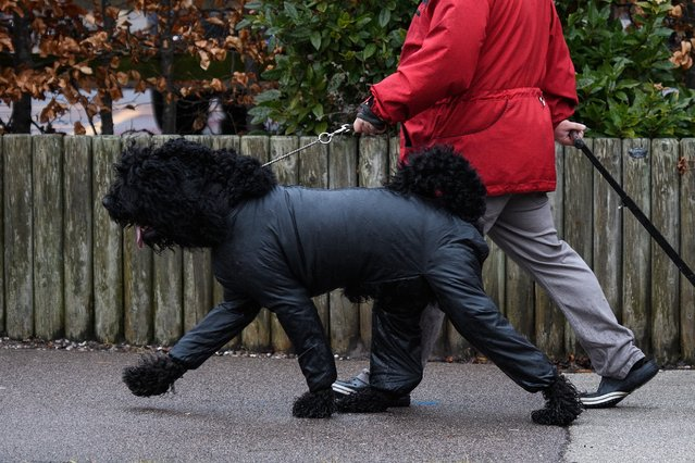 An owner walks with a Portuguese Water Dog as they arrive at the Crufts dog show at the NEC Arena on March 8, 2018 in Birmingham, England. (Photo by Leon Neal/Getty Images)