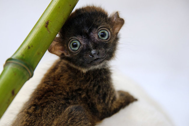 """""""Dimbi"""", a blue-eyed black lemur cub (Eulemur flavifrons) is pictured at the zoo of Mulhouse, northeastern France, on April 19, 2013. There's currently less than 2,000 blue-eyed black lemurs into the wild. (Photo by Sebastien Bozon/AFP Photo)"""