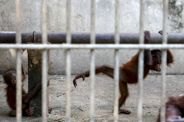 Orangutans are pictured in a cage at Kao Pratubchang Conservation Centre in Ratchaburi, Thailand, November 11, 2015. (Photo by Athit Perawongmetha/Reuters)