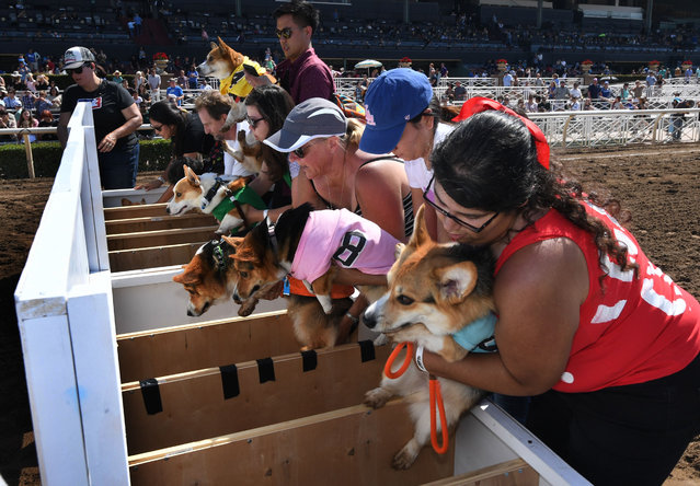 "A Corgi dogs prepare to race during the SoCal ""Corgi Nationals"" championship at the Santa Anita Horse Racetrack in Arcadia, California on May 27, 2018. The event saw hundreds of Corgi dogs compete for the fastest dog title at the 17 race event. (Photo by Mark Ralston/AFP Photo)"
