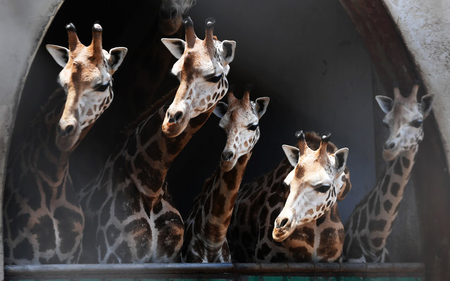 Giraffes look on from their enclosure as a newly born giraffe calf with its mother is separated from others at the Alipore Zoological Garden, in Kolkata on June 7, 2018. (Photo by Dibyangshu Sarkar/AFP Photo)