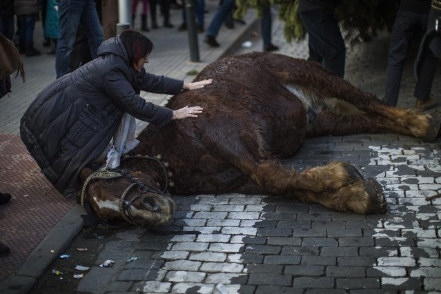 A woman tries to comfort a horse knocked down after falling exhausted during a parade along a street of Caldas de Montbui, as they celebrate the feast of Saint Anthony the Abbot, the patron saint of domestic animals, on the outskirts of Barcelona, Spain, Sunday, January 18, 2015. (Photo by Emilio Morenatti/AP Photo)