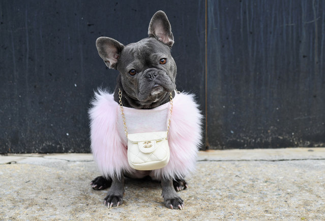 A french bulldog named Magnolia wears a Chanel pouch outside Spring Studios during New York Fashion Week: The Shows (NYFW) on February 16, 2021 in New York City. (Photo by Angela Weiss/AFP Photo)
