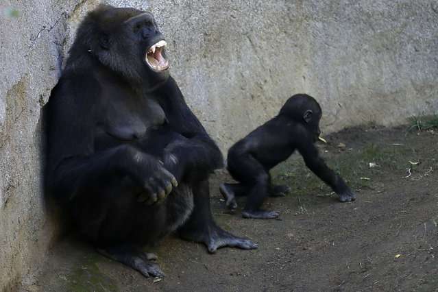 Mother gorilla Imani gestures as her daughter Joanne sits close by at the San Diego Zoo Safari Park, Tuesday, January 27, 2015, in Escondido, Calif. Joanne is approaching her first birthday in March, after being born via a rare emergency cesarean section. Despite early complications, the baby gorilla now appears to be doing well. (Photo by Gregory Bull/AP Photo)