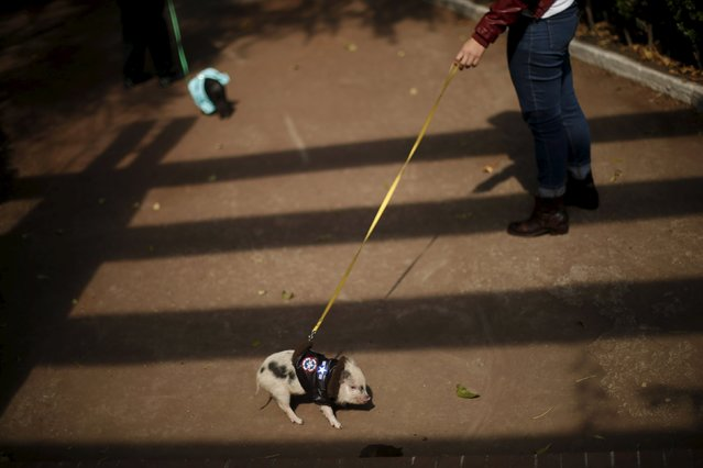 Chule, a six-month-old mini pig, walks in Mexico City, December 11, 2015. (Photo by Edgard Garrido/Reuters)