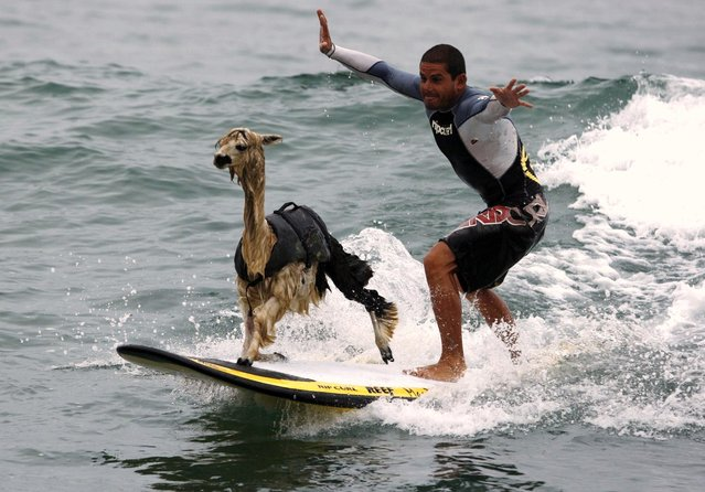 Peruvian surfer Domingo Pianezzi rides a wave with his alpaca Pisco at San Bartolo beach in Lima March 16, 2010. Pianezzi has spent a decade training dogs to ride the nose of his board when he catches waves, and now he is the first to do so with an alpaca. (Photo by Pilar Olivares/Reuters)