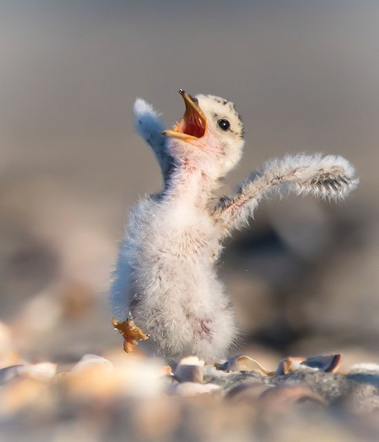A little chick lets out a scream. (Photo by Sarah E. Devlin/Barcroft Images/Comedy Wildlife Photography Awards)