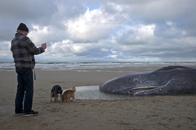 A man takes a photo of a dead sperm whale on a beach on Texel Island, The Netherlands, January 13, 2016. (Photo by Cris Toala Olivares/Reuters)
