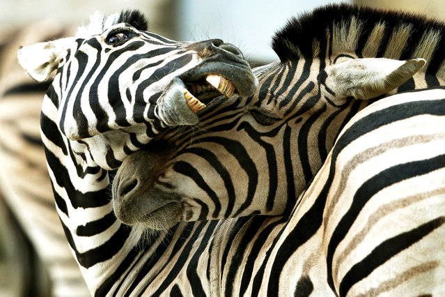 Two Damara plains zebras put their heads together at the zoo in Duisburg, Germany, 20 January 2016. These wild animals native to southern Africa are tolerating the current freezing temperatures. (Photo by Roland Weihrauch/EPA)