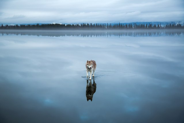 Husky dog Alaska walks on water in Northern Russia, January 2015. The miraculous images were taken after heavy rainfall landed on a frozen lake. The rare phenomenon was captured by the dog's owner Fox Grom. (Photo by Fox Grom/Visual Press Agency)