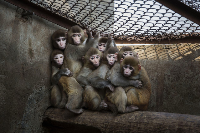 "Macaque monkeys crowd together in their cage at a monkey farm on February 3, 2016 in Xinye county, Henan province, China. The area boasts a centuries-long and lucrative history of raising and training monkeys for performance. In Xinye, villagers are seeing an increase in business with the lunar calendar's ""Year of the Monkey"". Farmers say most of the monkeys are bred and raised for domestic zoos, circuses, and performing groups, but add that some are also sold for medical research in China and the United States. Despite the popularity of the tradition, critics contend the training methods and conditions constitute animal cruelty. (Photo by Kevin Frayer/Getty Images)"